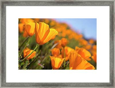 California Poppies, California Central Framed Print by Rob Sheppard