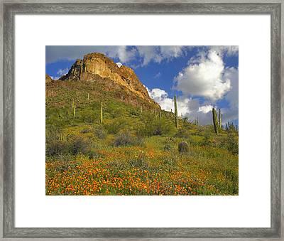 California Poppies In Arizona Framed Print by Tim Fitzharris