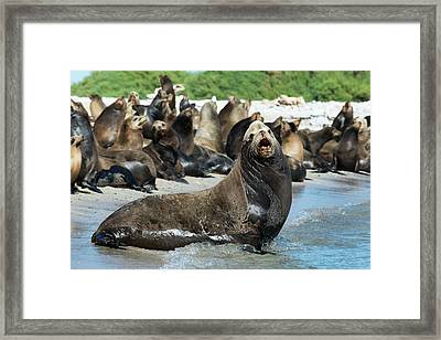 California Sea Lions Framed Print by Christopher Swann