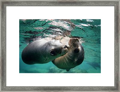 California Sea Lions In Shallow Water Framed Print by Christopher Swann