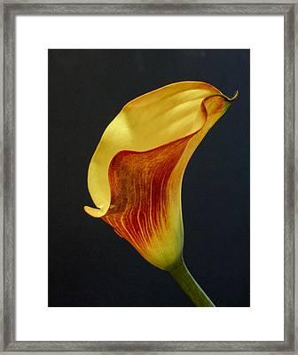Calla Lilly Framed Print by David and Carol Kelly