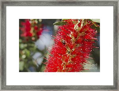 Callistemon Citrinus - Crimson Bottlebrush Framed Print by Sharon Mau