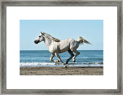 Camargue Horse Framed Print by Dr P. Marazzi