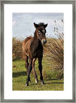 Camargue Horse Foal, Born Dark And Turn Framed Print by Adam Jones