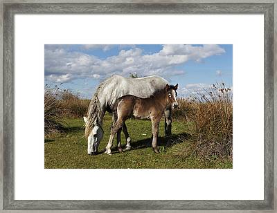 Camargue Horse Foal With Mother Framed Print by Adam Jones