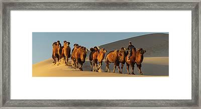 Camel Caravan In A Desert, Gobi Desert Framed Print by Panoramic Images