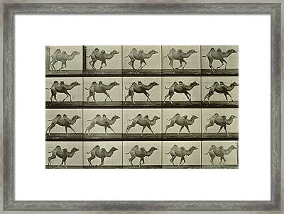 Camel Framed Print by Eadweard Muybridge