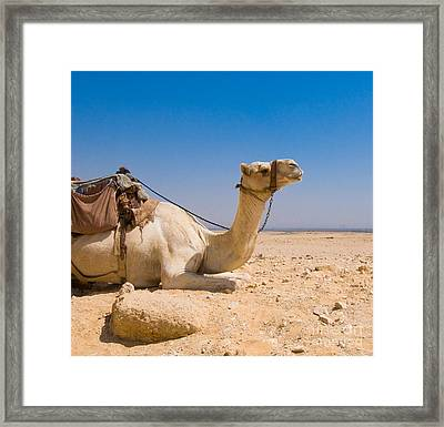 Camel In Desert Framed Print by Konstantin Kalishko
