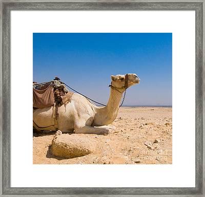 Camel In Desert Framed Print