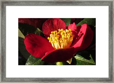 Camellia Flower Framed Print by Joyce Woodhouse