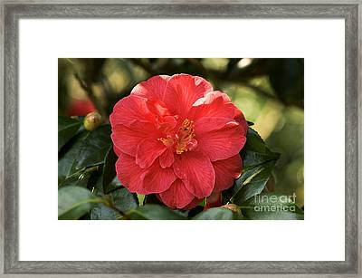 Camellia Japonica Mercury Framed Print by Adrian Thomas