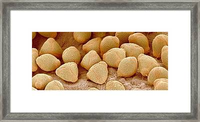 Camellia Pollen, Sem Framed Print by Science Photo Library