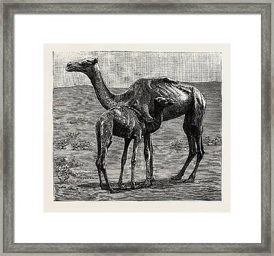 Camels From El-teb, Soudan Sudan Framed Print by African School