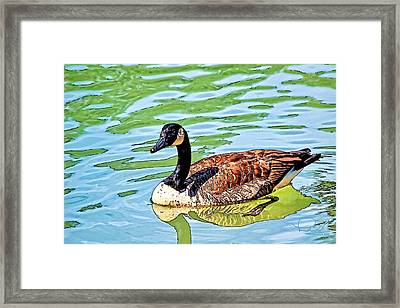 Framed Print featuring the photograph Canada Goose by Ludwig Keck