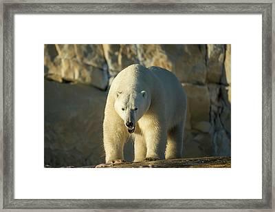 Canada, Nunavut Territory, Polar Bear Framed Print by Paul Souders