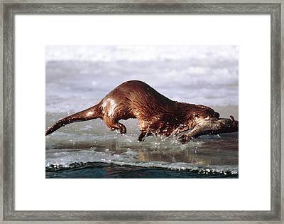 Canadian Otter Framed Print by William Ervin/science Photo Library