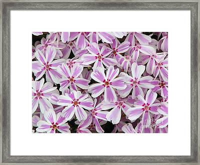 Candy Stripe Phlox Framed Print by Michele Penner