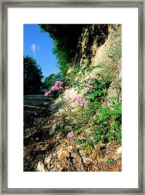 Candytuft (iberis Umbellata) Framed Print by Bruno Petriglia/science Photo Library