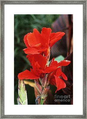 Canna Lily Lucifer Framed Print