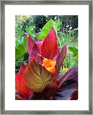 Canna Lily Stripes Framed Print