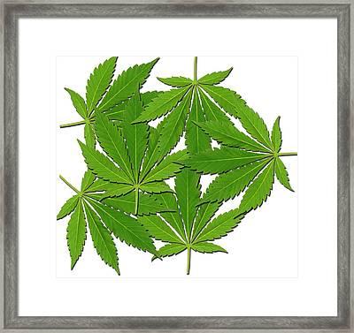 Cannabis Leaves Framed Print by Victor De Schwanberg