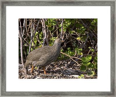 Cape Francolin Framed Print by Bob Gibbons