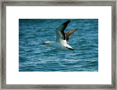 Cape Gannet (morus Capensis Framed Print