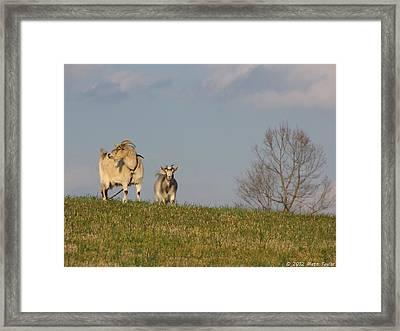 Caprine Hill Framed Print by Matt Taylor