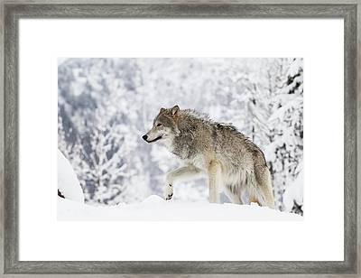 Captive  Female Tundra Wolf In Snow Framed Print