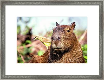 Capybara And Cattle Tyrant Framed Print