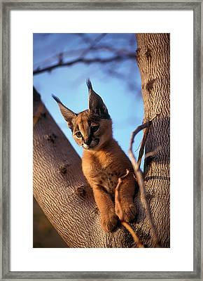 Caracal (caracal Caracal) Framed Print by Photostock-israel