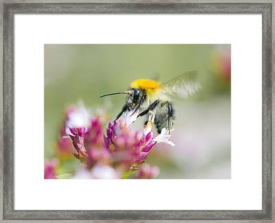 Carder Bee Framed Print