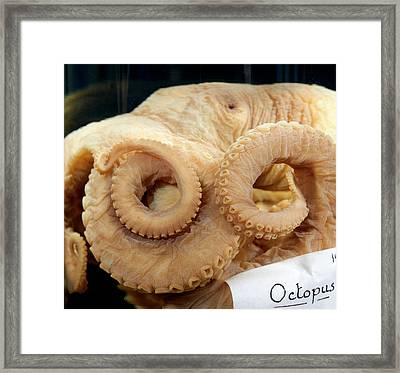 Caribbean Reef Octopus Framed Print by Natural History Museum, London