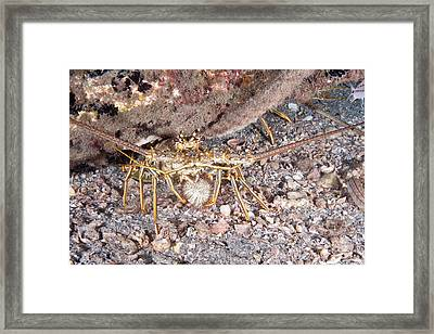 Caribbean Spiny Lobster Framed Print by Andrew J. Martinez