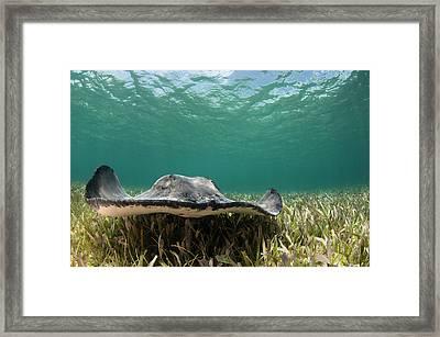 Caribbean Whiptail Ray (himantura Framed Print