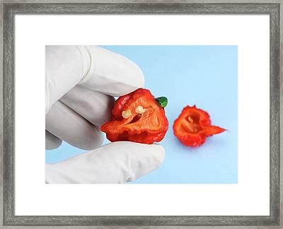Carolina Reaper Chilli Pepper Framed Print
