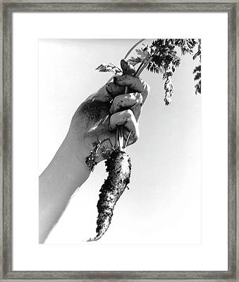 Carrot Harvest Framed Print by Cristina Pedrazzini/science Photo Library