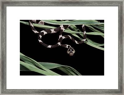 Cat-eyed Snake Or Blunthead Tree Snake Framed Print