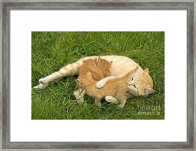 Cat Nursing Kittens Framed Print