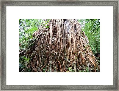 Cathedral Fig Tree Framed Print by Ashley Cooper