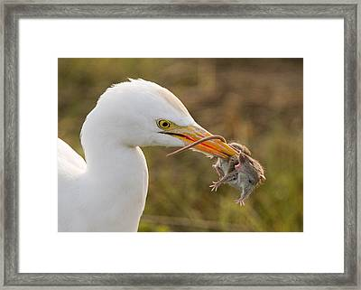 Cattle Egret Framed Print