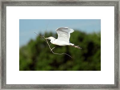 Cattle Egret In Flight Framed Print