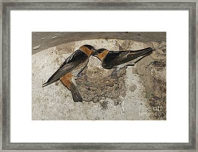 Cave Swallows Framed Print
