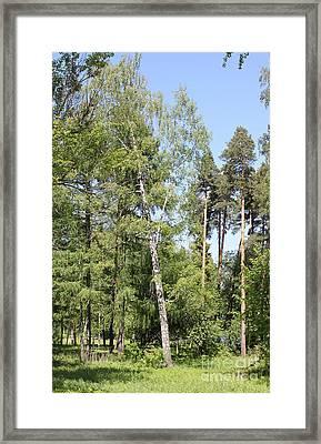 Cedars Framed Print