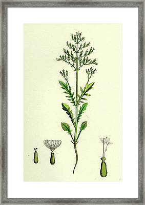 Centranthus Calcitrapa Cut-leaved Valerian Framed Print by English School