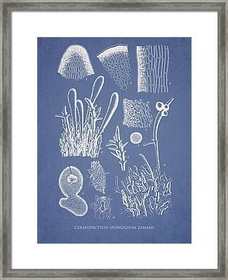 Ceratodictyon Spongiosum Zanard Framed Print by Aged Pixel