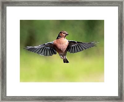 Chaffinch In Flight Framed Print