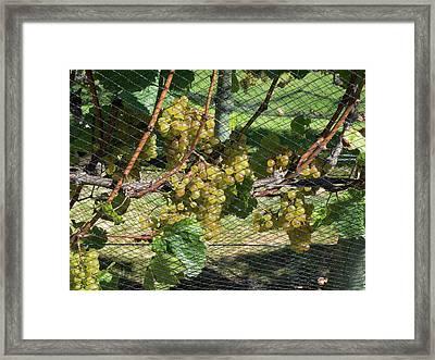 Chardonnay Grapes On Vine Framed Print