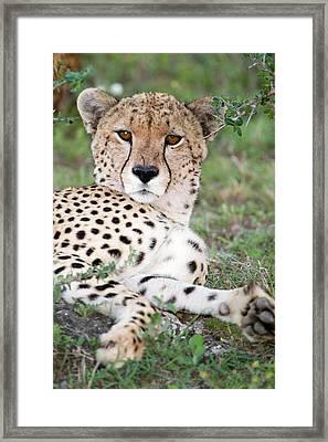 Cheetah Acinonyx Jubatus Resting Framed Print