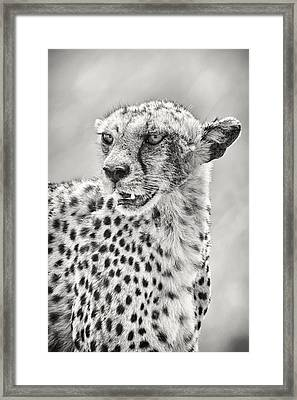 Cheetah Framed Print by Adam Romanowicz